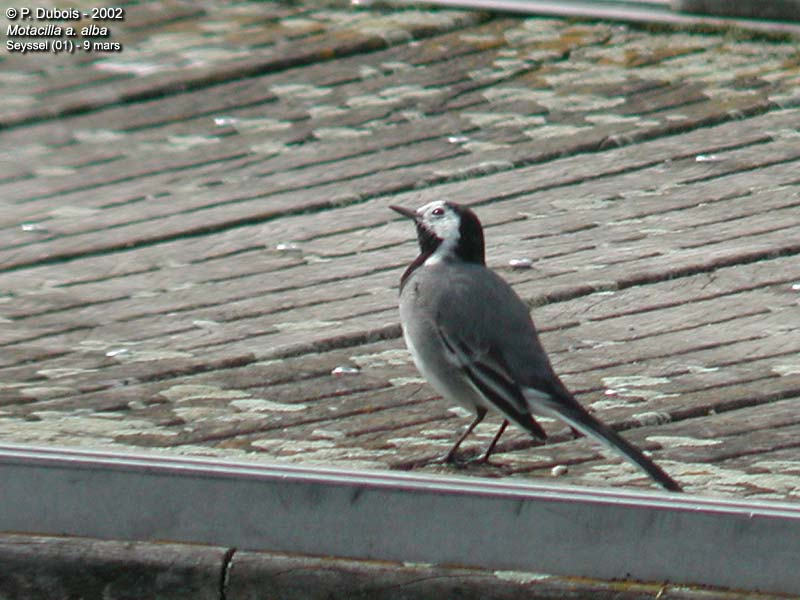 White Wagtail or Pied Wagtail