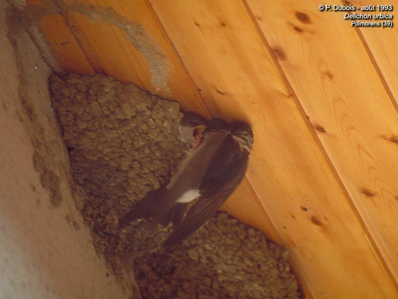 Northern House Martin