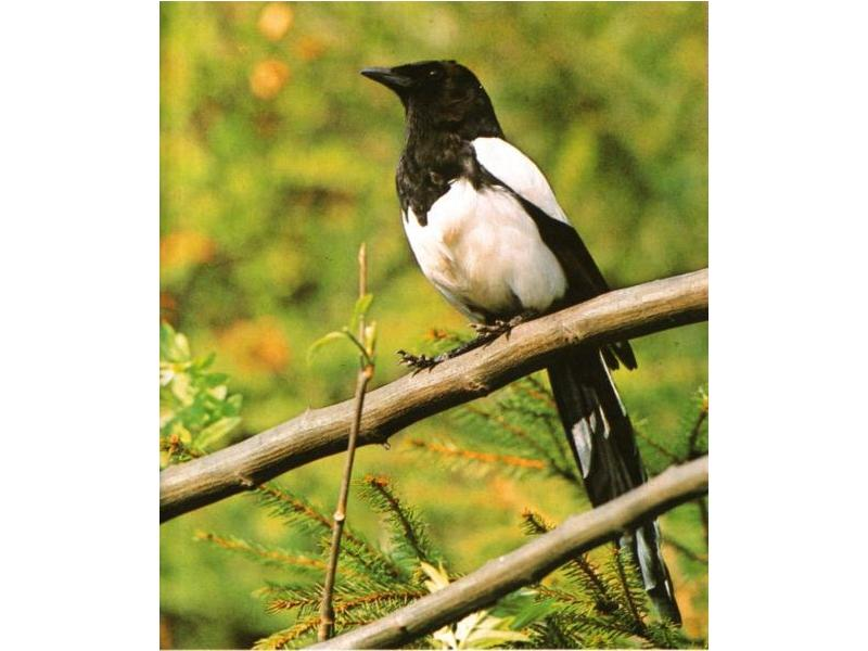 Common Magpie